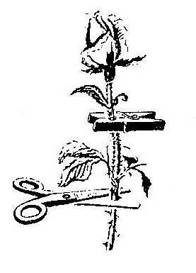 Как срезать розу не уколовшись