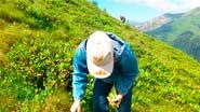 Миниатюра к статье - Сбор лекарственных растений